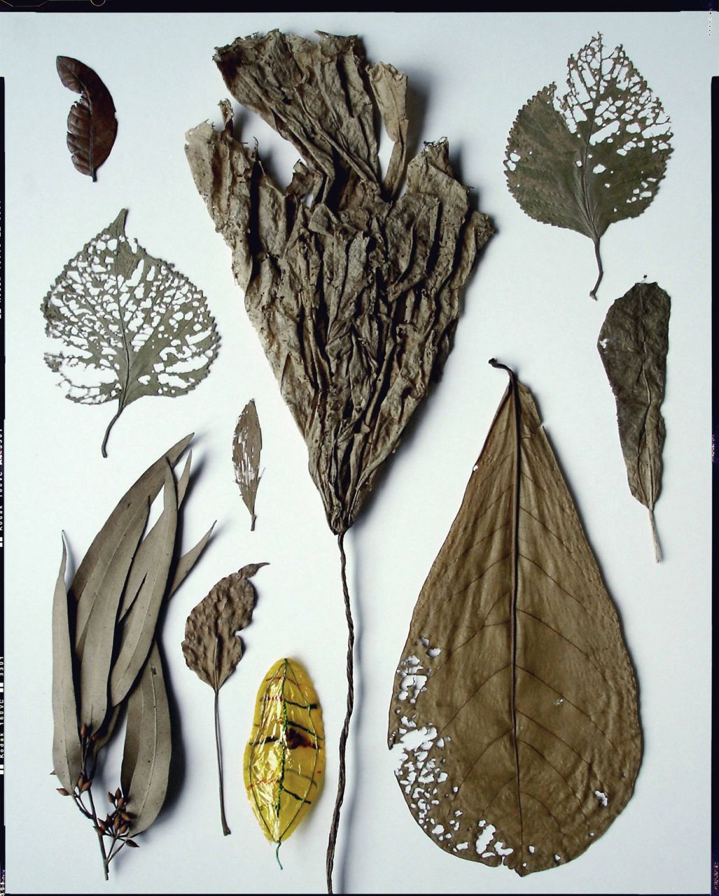 nine leaves / collected 1990-2006 <p>leaf from star fruit lantern / collected 2006